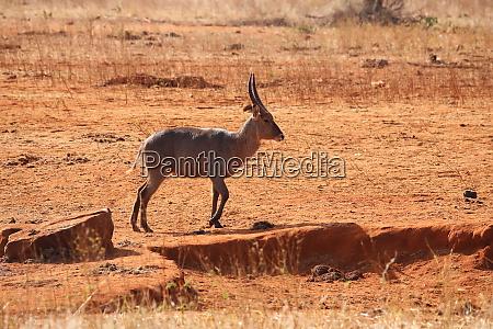 common waterbuck in kenya