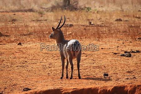 the common waterbuck is recognizable at