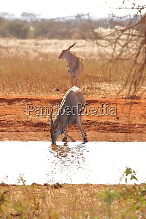 two eland antelopes at a water