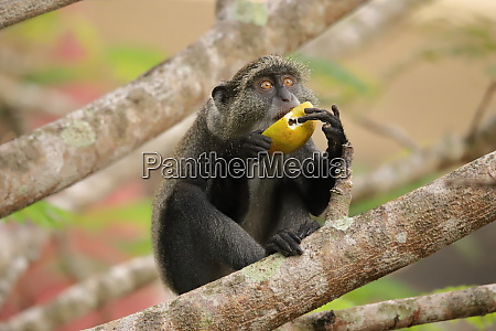 sykes monkey holds a fruit with