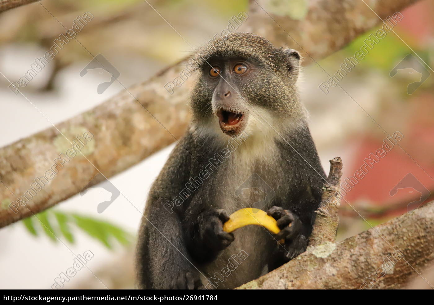 the, sykes, monkey, seems, to, be - 26941784
