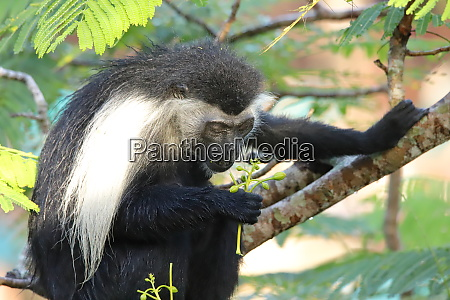 the angolan colobus monkey looks at