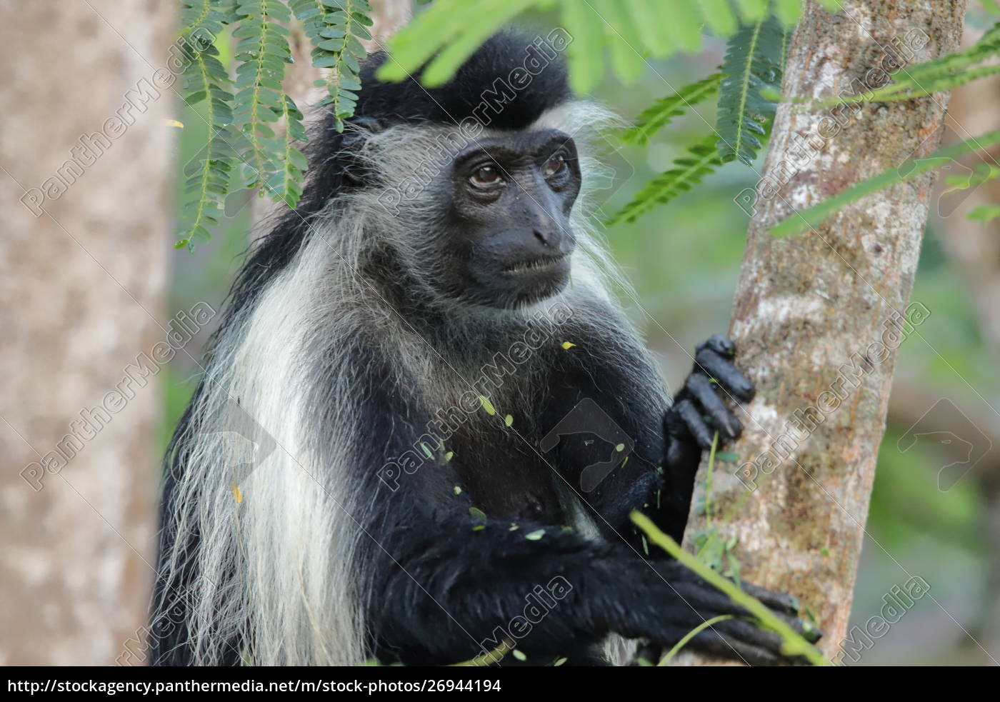 a, thoughtful, looking, colobus, monkey, sits - 26944194