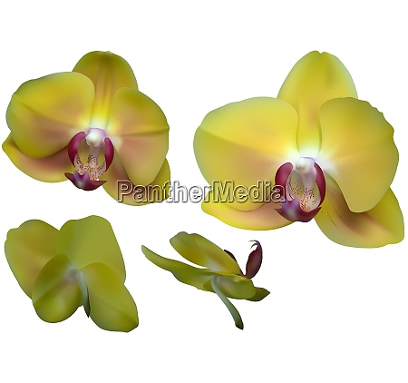 yellow orchid flowers isolated on white