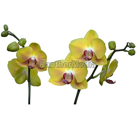 yellow orchid plant with flowers