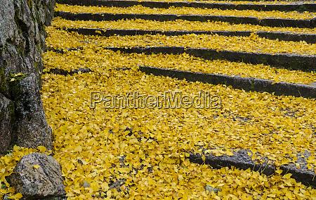 faldne gule blade af ginkgo trae