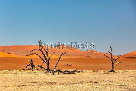 dry acacia tree i dead in