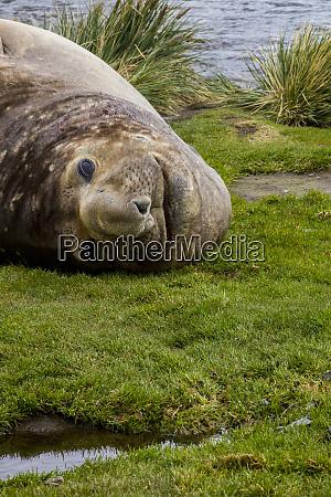 resting elephant seal grytviken south georgia