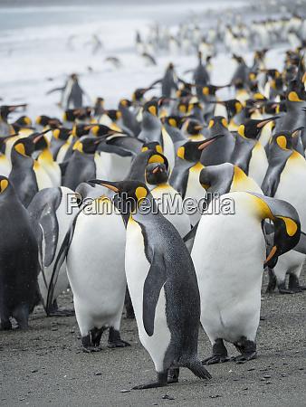 king, penguin, (aptenodytes, patagonicus), on, the - 27327101