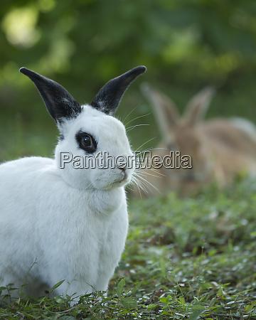 sort og hvid rex kanin med