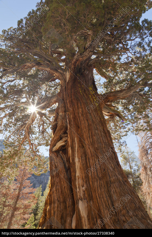 usa, californien, inyo, national, forest., gamle, enebær, træ - 27338340