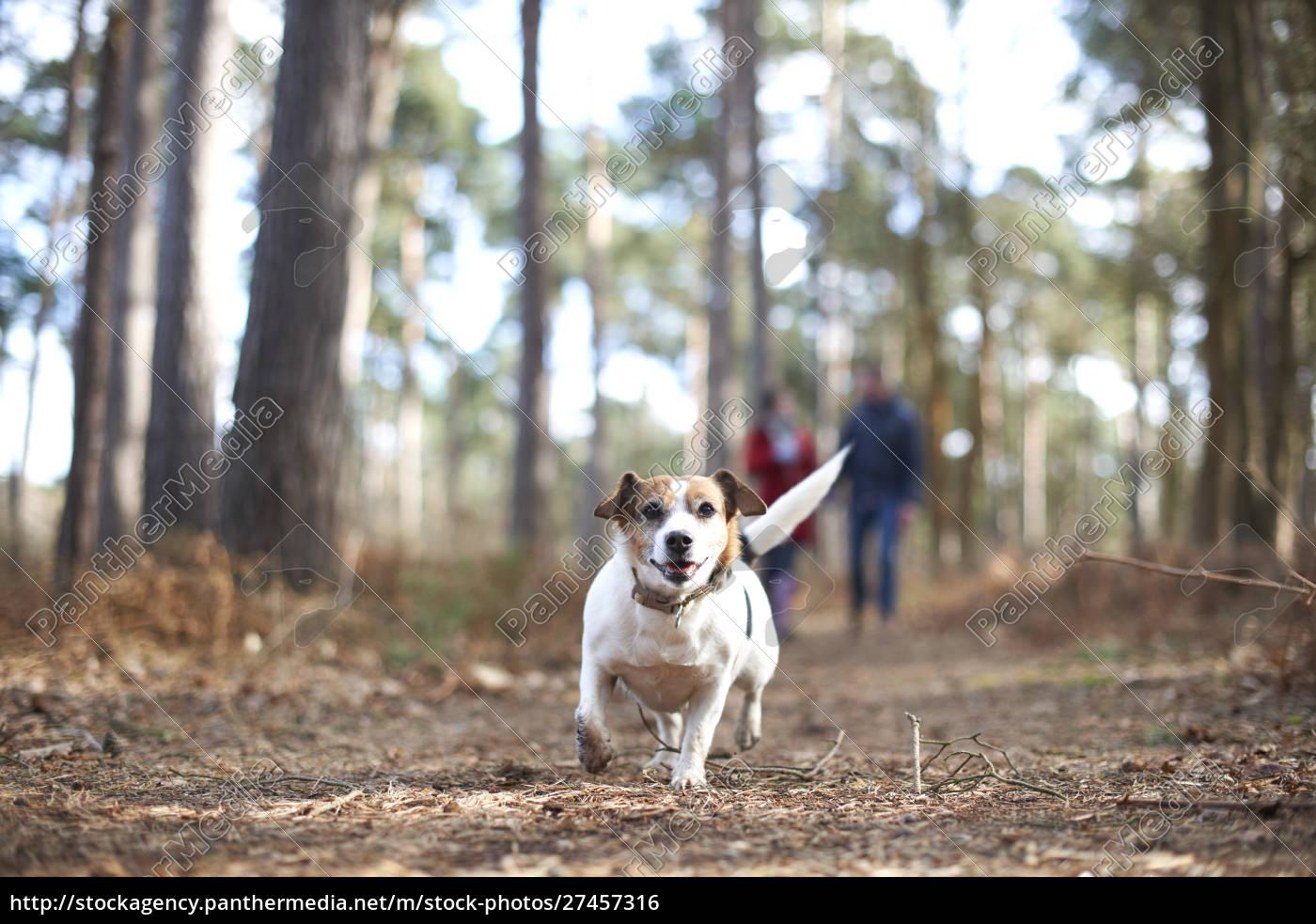 happy, , carefree, dog, running, in, autumn - 27457316