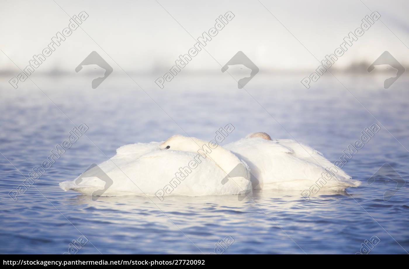 wyoming, sublette, county, frosty, trompetist, swan, par, hviler - 27720092