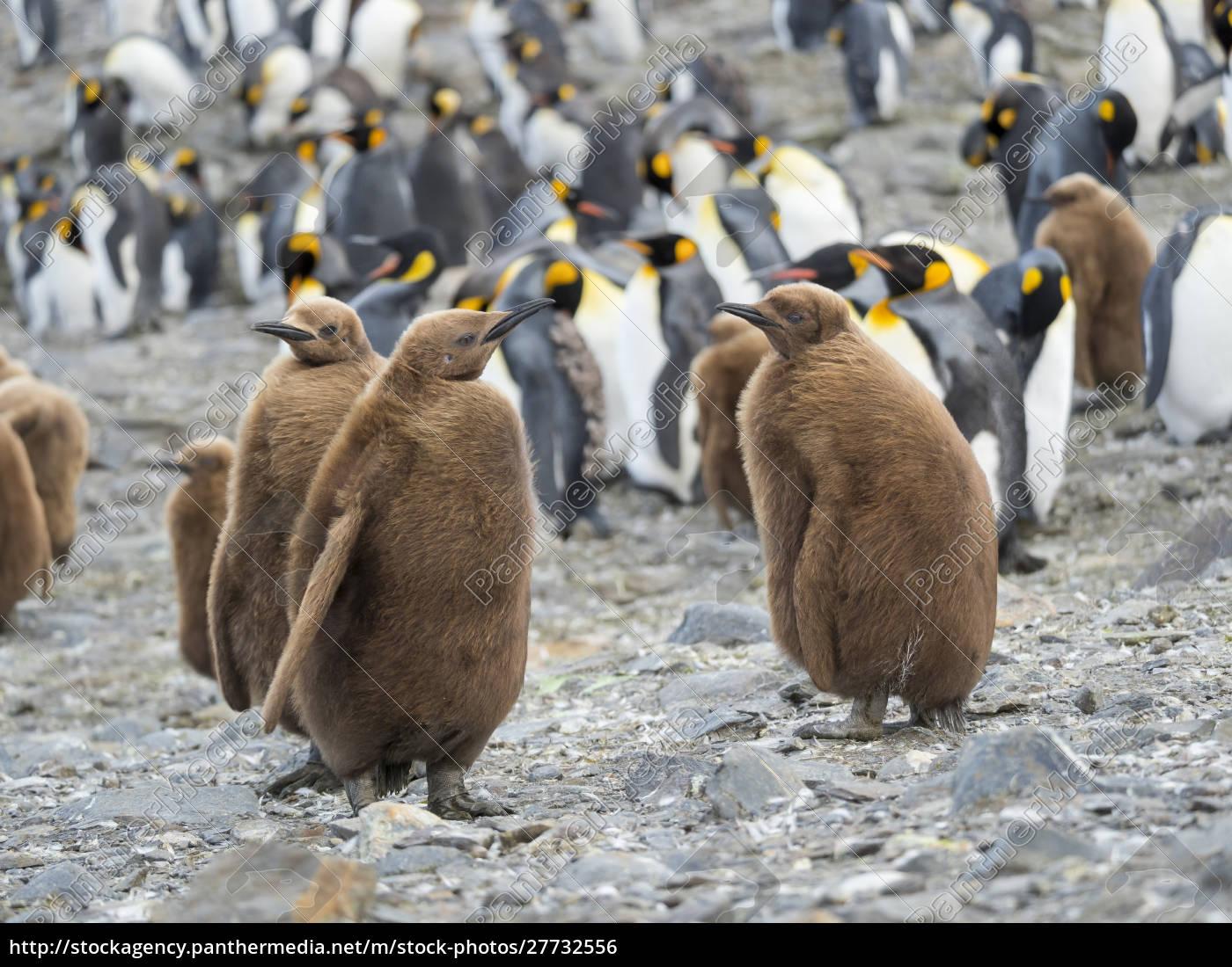king, penguin, (aptenodytes, patagonicus), på, øen - 27732556