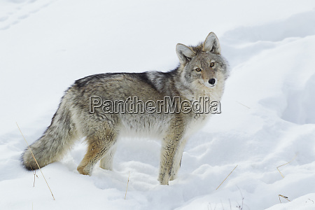 coyote soger