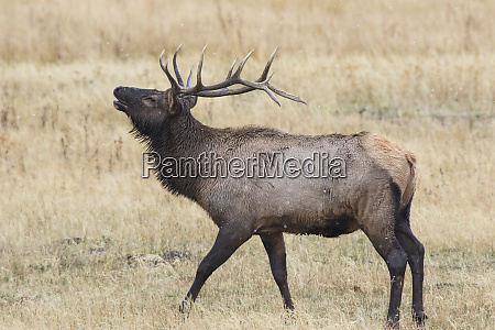 elg, (cervus, canadensis), tyr, mandlige, bugling, yellowstone - 27983512