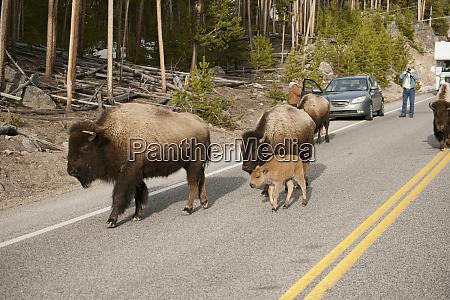 yellowstone nationalpark wyoming bison gar ned