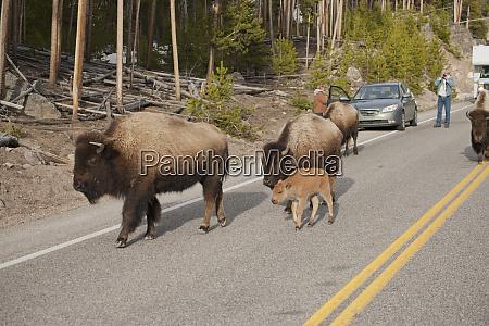 yellowstone national park wyoming usa bison