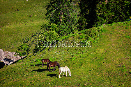 horses grazing in mountains