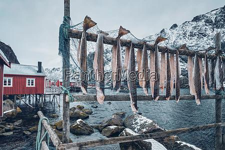 drying stockfish cod in nusfjord fishing