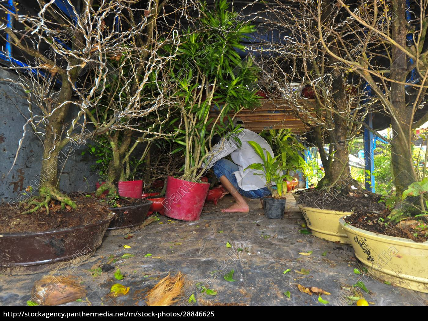 the, bonsai, culture, in, vietnam - 28846625