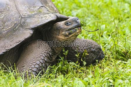 portraet af en galapagos giant skildpadde
