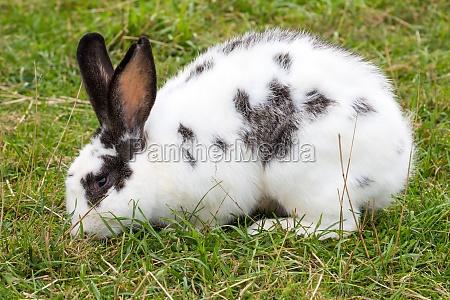 hvid plettet kanin