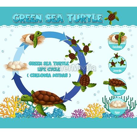 diagram der viser skildpaddens livscyklus