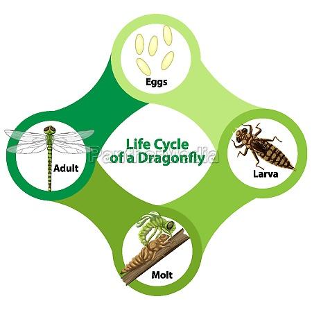 diagram der viser guldsmedens livscyklus