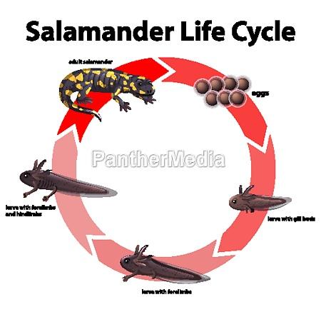 diagram der viser salamanders livscyklus