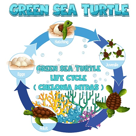 diagram, der, viser, skildpaddens, livscyklus - 30252990