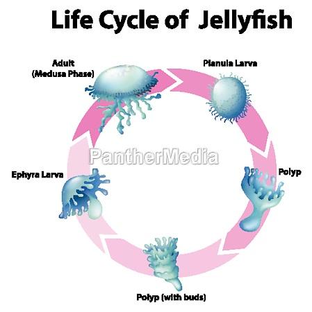 diagram der viser vandmaends livscyklus