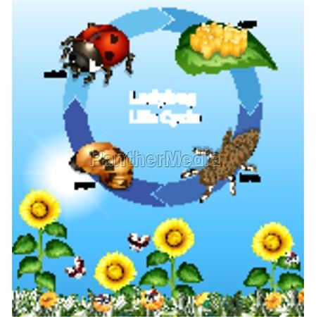 diagram der viser mariehons livscyklus